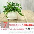観葉植物 送料無料ペペロミア・フォレット育てやすい観葉植物です。【観葉植物 インテリア】