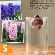 花も綺麗ですが,「花が咲くまで」がいいんデス!球根デビューしちゃおうかな♪ヒヤシンス(水栽培用球根)とガラス花瓶(Sサイズ)のセット【ヒアシンス フラワーベース】