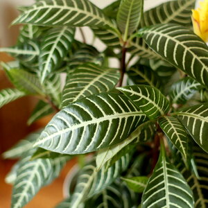 【今年はこれで最後!8/27〜のお届け】数量限定!これに目がとまった方は、お目が高い!美しい葉、美しい草姿まだ殆ど流通していない、アフェランドラ・ダニアの「枝代わり」ボリュームの6号鉢サイズ