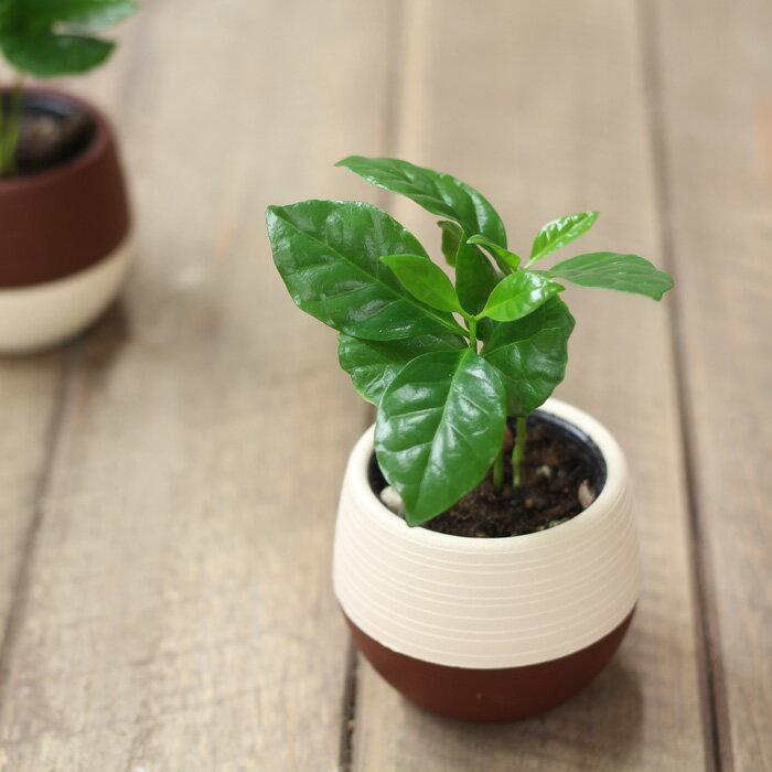 【予約品・5/15〜のお届け(他の品も5/15〜一緒に配送)】デスクの上で、やすらぎのcoffeタイムを。小さな、小さなコーヒーの木※鉢の色はお任せです(今月の植物)