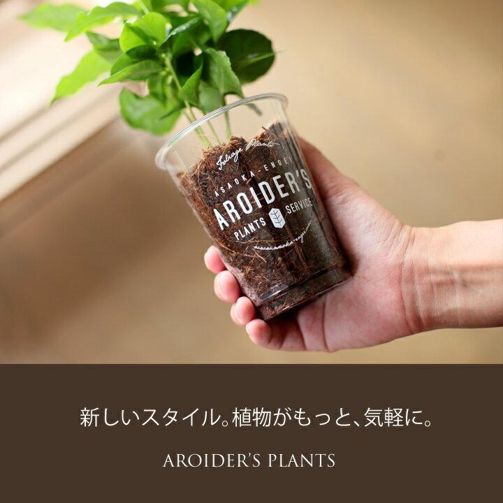 おしゃれなプラカップに、コーヒーの木を植えてみました