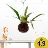 (観葉)【送料無料】コウモリランの苔玉 ″ヴィーチー″ (今月の植物)おしゃれな部屋のマストアイテム 【#元気いただきますプロジェクト】