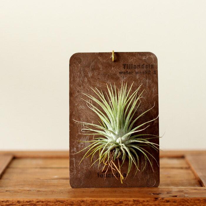 【お届けは1/20〜】エアープランツを「育てたい」し「インテリア」としても飾りたい!そんな方は、この飾り方がお勧めです!【チランジア エアプランツ標本】(今月の植物)【#元気いただきますプロジェクト】