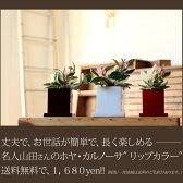 【送料無料】観葉植物 ホヤ・カルノーサ 育てやすい インテリア