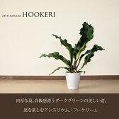【送料無料(同梱不可】9月だけ!【ポイント2倍!】葉を切って花瓶に挿しても素敵!「葉」を楽しむアンスリウム「フーケリー」。ボリュームの6号鉢サイズ【アンスリューム・フーケリー】