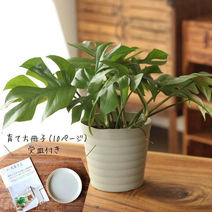 【お届けは6/23〜】観葉植物 今月のおすすめ!杉山さんの姫モンステラ10ページからなる育て方ガイド&受皿付き!