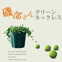 ●これが最終入荷!お届けは4/2〜ぷりっプリで超可愛い、名人・磯部さんのグリーンネックレス2.5苗×1(今月の植物)