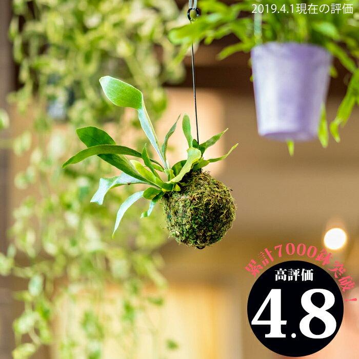 【送料無料】コウモリラン・ネザーランドの苔玉(ビカクシダ)(今月の植物)【#元気いただきますプロジェクト】