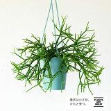 【予約品5/9〜のお届け】観葉植物 今月のおすすめ!リプサリス・ネべス・アルモンディー