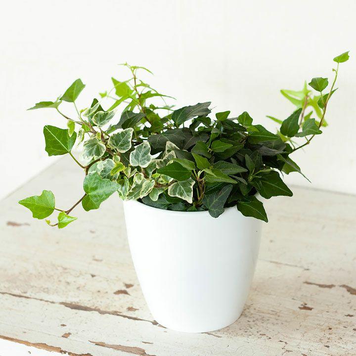 観葉植物 今月のおすすめ!3種の寄せ植えアイビー