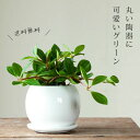 完売御礼!お届けは7/29〜【送料無料】ペペロミア・フォレット(今月の植物)