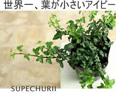 ちょっとツル長め。アイビー(ヘデラ・へリックス)【観葉植物 アイビー ヘデラ・へリックス】...