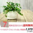 【送料無料】育てやすくて可愛い観葉植物ペペロミア・フォレット...
