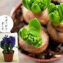 【残りわずか】ヒヤシンス2鉢セット(花色はお任せです)(今月の植物)