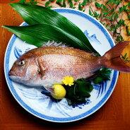 浦安水産愛媛ゆめしま鯛1尾