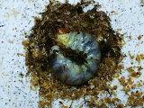 ムシモンオオクワガタ幼虫イタリア・サルディーニャ産CBヒラタケ菌糸カップ120cc入り