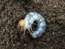 パラワンオオヒラタクワガタ幼虫
