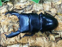 スマトラヒラタクワガタスマトラ島ベンクール産B♂89mm(左後脚欠損)