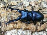 ギラファノコギリ亜種ケイスケフローレス島産CB♂104mm
