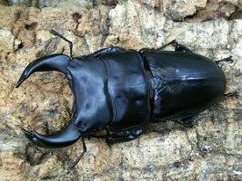 国産オオクワガタ極太アンバランス血統No.60アブレイズ♂75mm(顎幅6.3)