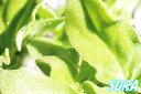 送料無料!!葉や茎の表面に水滴に似たキラキラとしたミネラル成分の細胞をつくります!!アイスプ...