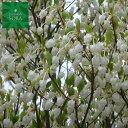 ドウダンツツジ 白花 H500〜700mm 20本 鉢底より 植木 苗