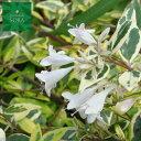 アベリア ホープレイズ 20本 植木 苗