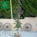 常緑ヤマボウシ 単木 樹高 H:2000mm 植木 苗