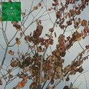 カツラ 単木 樹高H:2000mm 植木 苗