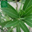 キョウチクトウ 赤花 樹高H:1500mm 植木 苗