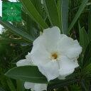 キョウチクトウ 白花 樹高H:1500mm 植木 苗
