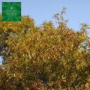 クヌギ 単木 樹高H:2000mm 植木 苗