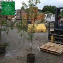 コナラ 単木 樹高H:2500mm 植木 苗