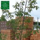 コナラ 株立 樹高H:2500mm 植木 苗