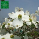 花水木 白 単木 樹高 H:2500mm 植木 苗