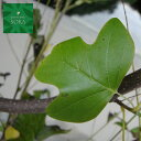 ユリノキ 単木 樹高H:2500mm 植木 苗