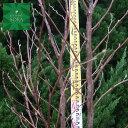 ヒメシャラ 単木 樹高 H:2000mm 植木 苗