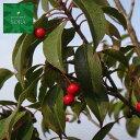 ソヨゴ 単木 樹高H:2000mm 植木 苗