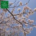 ソメイヨシノ 単木 樹高 H:2500mm 植木 苗