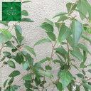 アブラチャン 10.5cmポット 25本 植木 苗