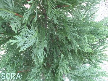 レイランディ 樹高H:2000mm