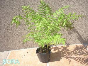 【草蘇鉄】お庭の観賞用として植えられる事も多いです。クサソテツ 5本