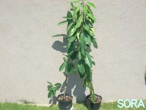 しめ飾りとしても使われる縁起物の植物ユズリハです!!本ユズリハH900~1100