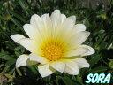晴れた日の日中にのみ開花します。ガザニア 白花 宿根 5本