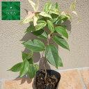 イワナンテン レインボー 6本 植木 苗