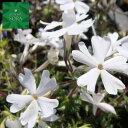 芝ザクラ(白) 12本 植木 苗