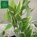 斑入りアマドコロ 24本 植木 苗