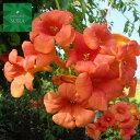 ノウゼンカズラ 9〜10.5cmポット 1本 植木 苗
