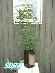 玄関先に置くと涼しげな雰囲気になります!!シマトネリコ 鉢植え スクエア
