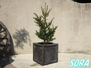 本物!クリスマスツリー!!プレゼント・クリスマストウヒ・もみのき・モミノキ・ドイツトウヒ ...